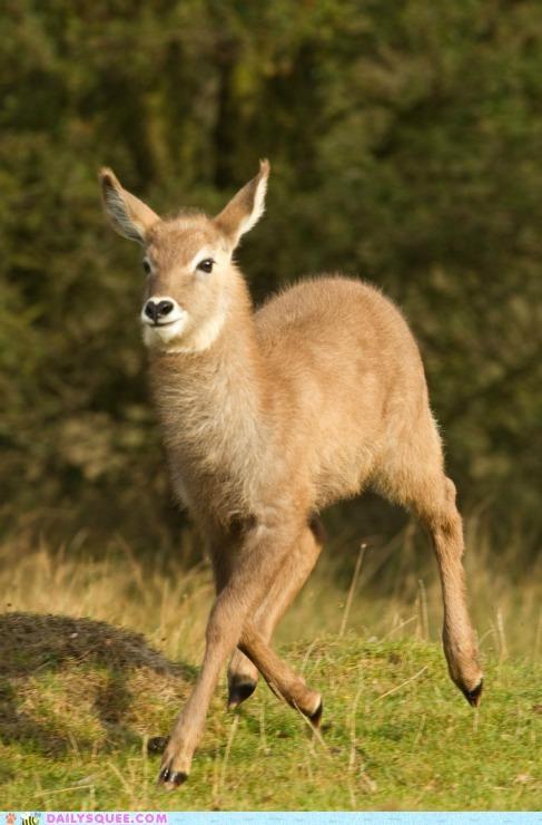 baby,calf,fuzzy,prancing,waterbuck,whatsit,whatsit wednesday