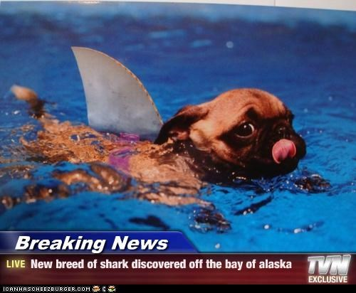 Breaking News - New breed of shark discovered off the bay of alaska