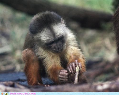 Squee Spree: Capuchins Vs. Bonobos!