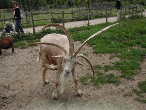 Proof That Goats Are Characters From a Medieval Fantasy Series