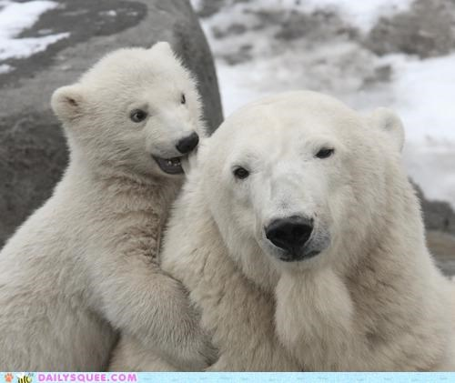baby,bear,bears,biting,cub,ear,gnawing,mother,polar bear,polar bears