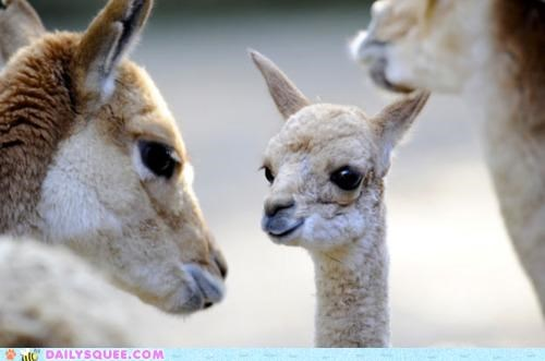 Wide-Eyed Vicuna Tot