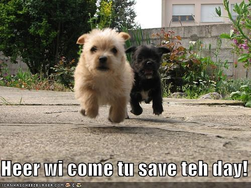 hover,hover dog,norwich terrier,running,save the day,terrier,whatbreed