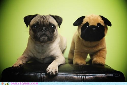 acting like animals,dogs,explanation,flattery,hiding,imitating,imitation,pretending,pug,pugs,reason,stuffed animal