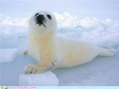 Squee Spree: Harp Seals Vs. Elephant Seals!