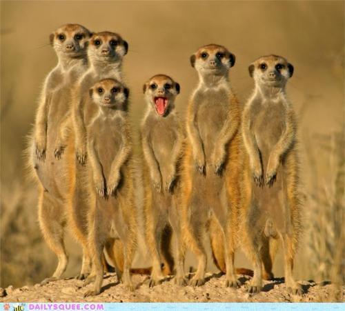 acting like animals,cheese,excited,FAIL,Hall of Fame,happy,hold still,holding,meerkat,Meerkats,misinterpretation,posing,still