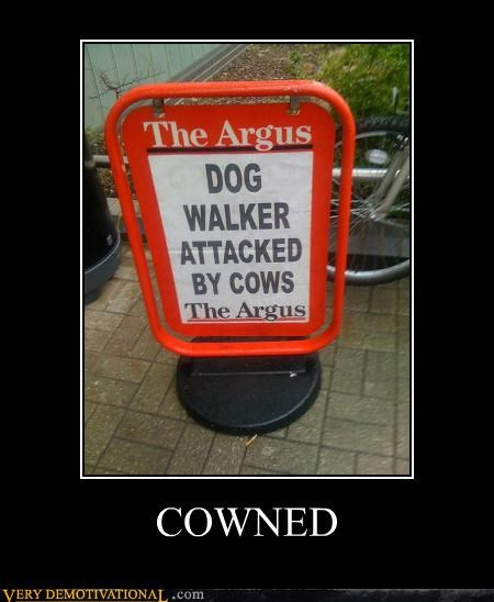 argus,cow,hilarious,news,pwned