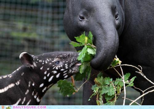 attempting,baby,bad idea,food,mother,noms,sharing,stealing,tapir,tapirs,tugging