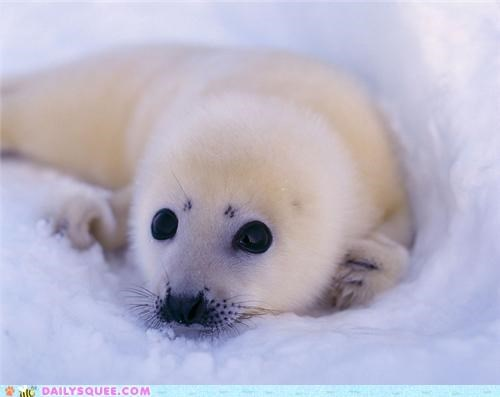baby,contest,hark,harp seal,hello,peeking,pup,seal,squee spree,winner