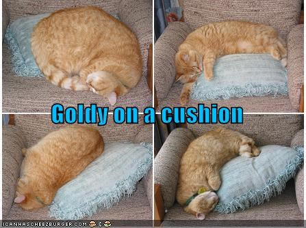 Goldy on a cushion