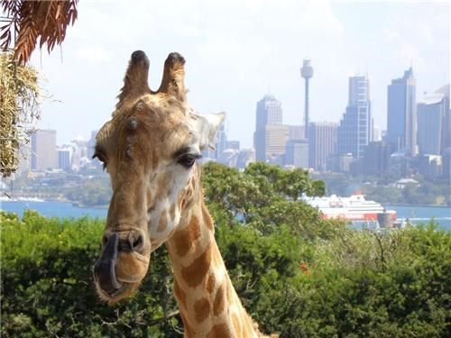First Class Ticket - Destination of the Week - Sydney, Australia - Giraffe