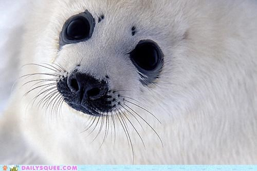 baby,eyes,harp seal,pup,seal,squee spree,stare,Staring,story,telling