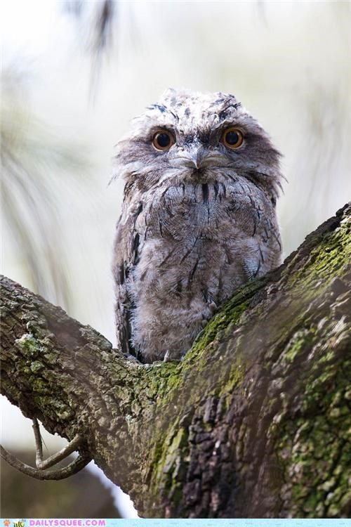 baby,chick,comparison,creepicute,creepy,cute,eyes,Owl,similar,Staring,tawny frogmouth