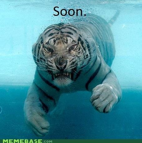 animals,best of week,derp,swimming,tiger
