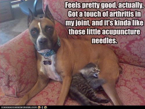 acupuncture,alternative medicine,arthritis,cat,kitten,medical,mixed breed,ouch,pit bull,pitbull