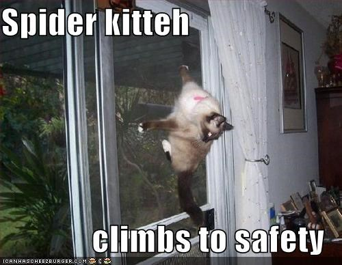 caption,captioned,cat,climbing,climbs,lolwut,safety,siamese,spider