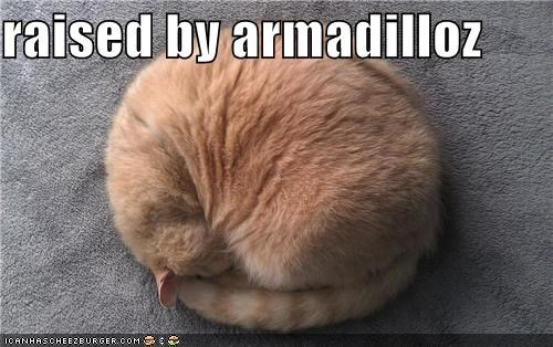 armadillo,armadillos,ball,by,caption,captioned,cat,curled up,raised,tabby