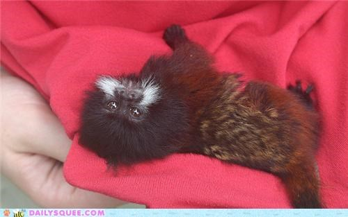 baby,coloring,contest,red panda,resemblance,squee spree,tamarin,tamarins,winner