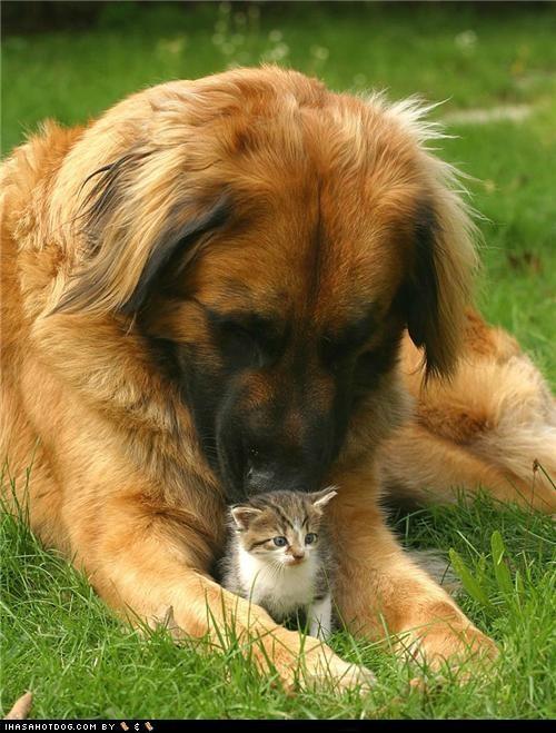 adorbz,friends,friendship,goggie ob teh week,grass,kitten,leonberger,love,outdoors,protector