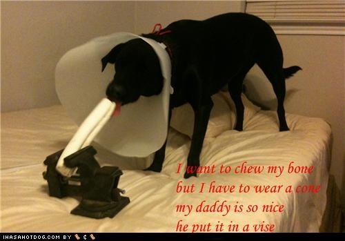 awesome,Black Lab,bone,cone,cone of shame,happy dog,labrador retriever,lucky,noms,vise