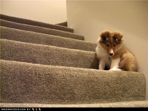 challenge,Challenge Accepted,challenging,collie,cute,cyoot puppeh ob teh day,puppy,stairs