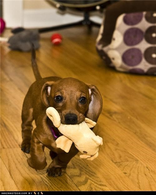 cyoot puppeh ob teh day,dachshund,play,playing,plush toy,puppy,running,stuffed animal,toy