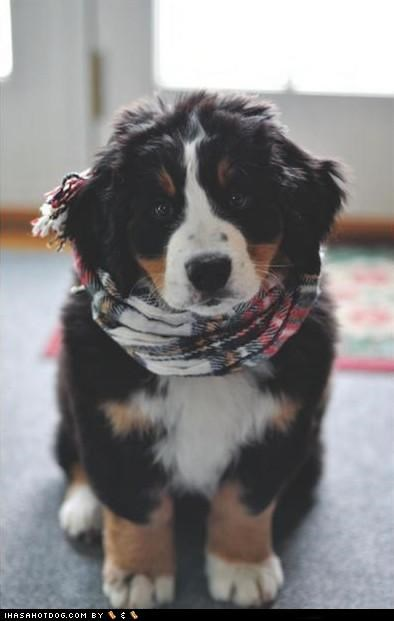 adorbz,bernese mountain dog,clothing,cute,puppy,scarf,sweet face