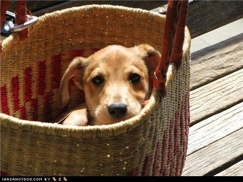 Cyoot Puppeh ob teh Day: Tisket, Tasket, Puppeh in a Basket!