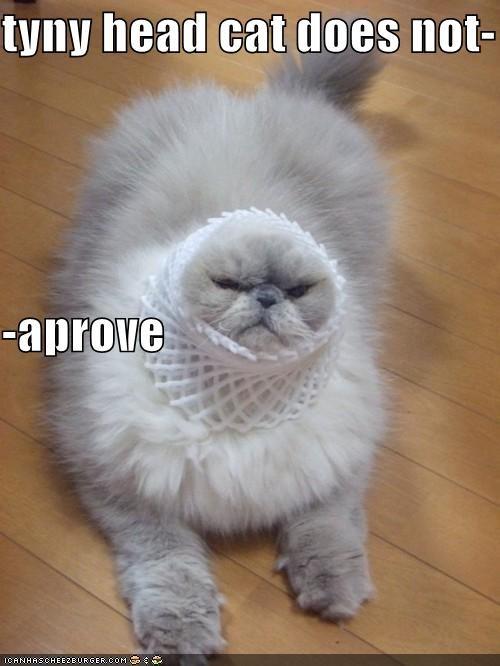 tyny head cat does not- -aprove
