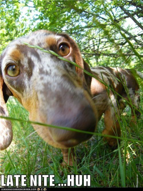 dachshund,drunk,grass,late night,oops