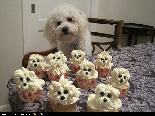 baked goods,cupcakes,delicious,food,noms,pupcakes,treat,west highland white terrier,whatbreed,yummy
