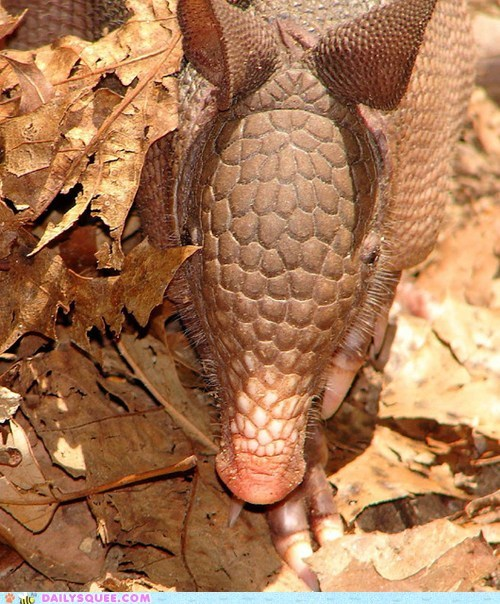 Squee Spree: Up Close and Armadillo