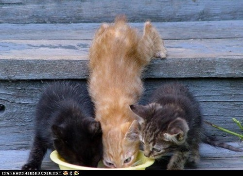 cyoot kitteh of teh day,food,food bowl,hungry,pushing,stairs,three cats