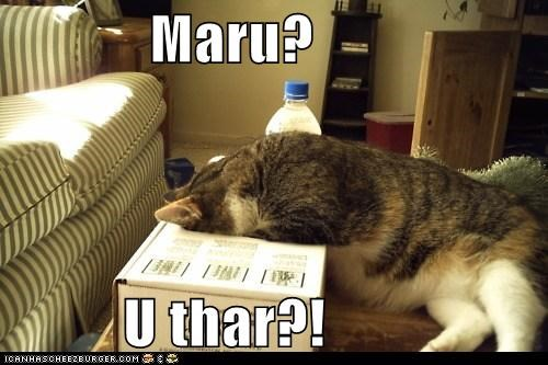 box,caption,captioned,cat,looking,maru,question,searching,there,you