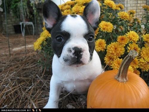 french bulldogs,goggie ob teh week,pumpkins,pumpkin pie,thanksgiving