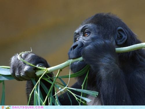 baby,chewing,eating,face,gorilla,greens,happy,leafy,leaves,nomming,noms,omnomnom,satisfaction,satisfied,stick