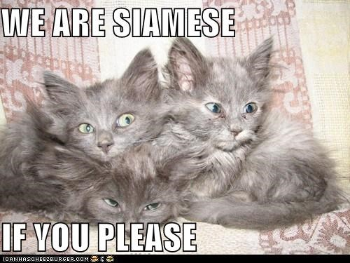WE ARE SIAMESE  IF YOU PLEASE