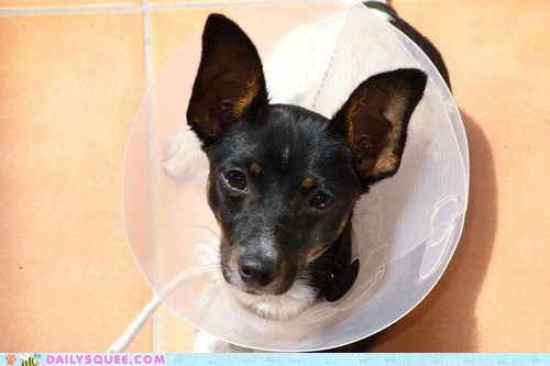 attractive,collar,cone of shame,do not want,dogs,fashion,fox terrier,puppy,reader squees,Sad,statement