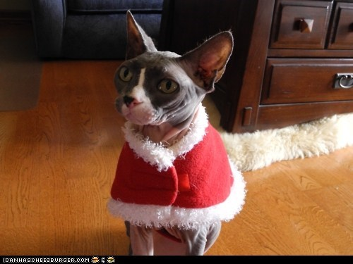 advent calendar,christmas,cyoot kitteh of teh day,dressed up,hairless,holidays,nekkid,santa,sphynx,the 25 days of catmas,warm