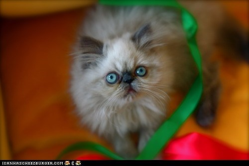 Advent Kitteh of teh Day: Wrap Me Up in Christmas Ribbons