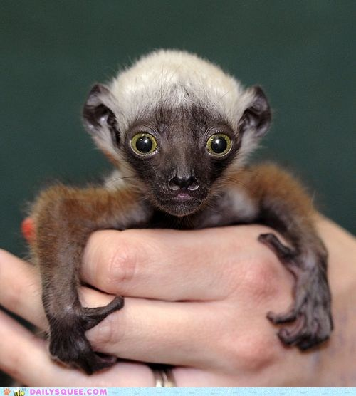 Whatsit Wednesday: Itty Bitty Sifaka Tot!