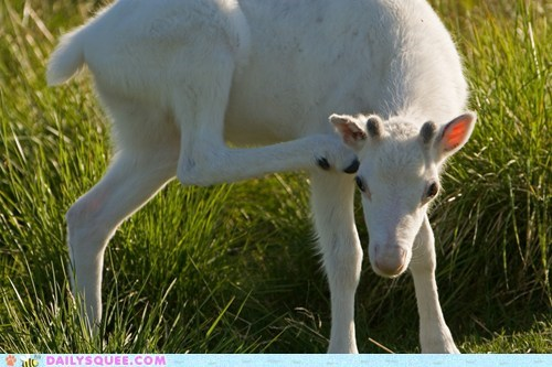 Babies,baby,calf,calfs,caribou,contest,moose,poll,reindeer,squee spree