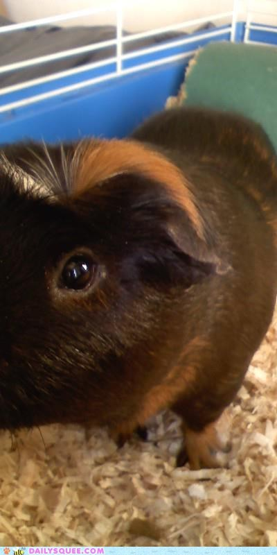 awesome,dignified,guinea pig,name,reader squees