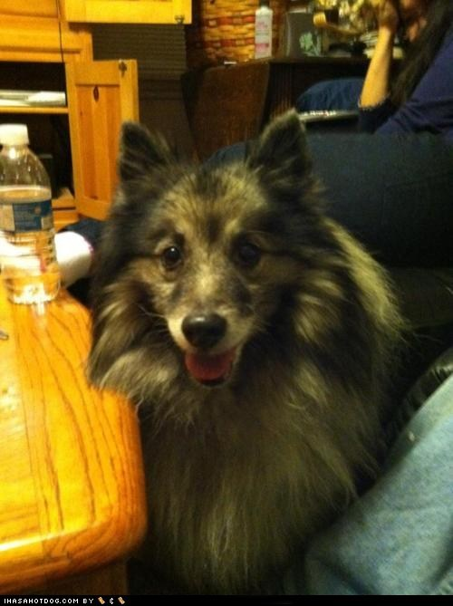 awesome,goggie ob teh week,happy dog,keeshond,smile,smiles,smiling