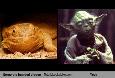 Gorgo the bearded dragon Totally Looks Like Yoda