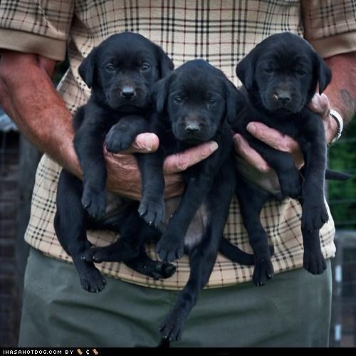 adorbz,awww,being held,Black Lab,cyoot puppeh ob teh day,labrador retriever,labrador retrievers,puppies,puppy,three of a kind