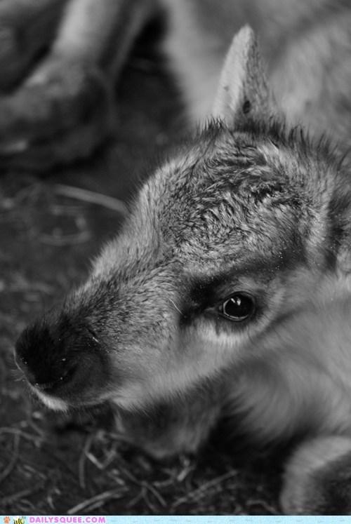 beautiful,eye,eyes,gaze,gazing,reindeer,squee spree,stare,Staring,unbearably squee