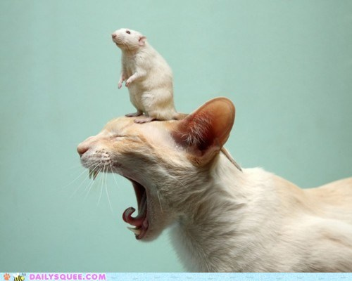 acting like animals,cat,do not want,get it off,head,rat,riding,upset,upsetting