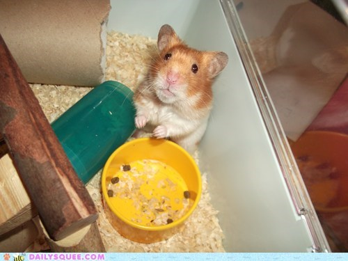 baby,cheeky,expression,face,guilt,guilty,hamster,reader squees