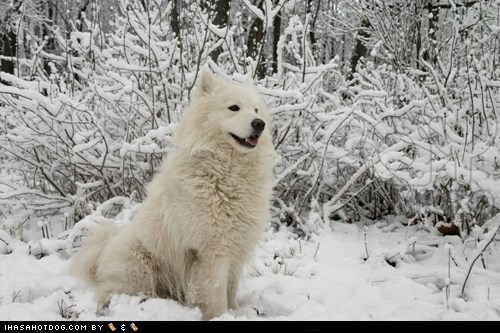 excited,goggie ob teh week,happy dog,outdoors,samoyed,snow